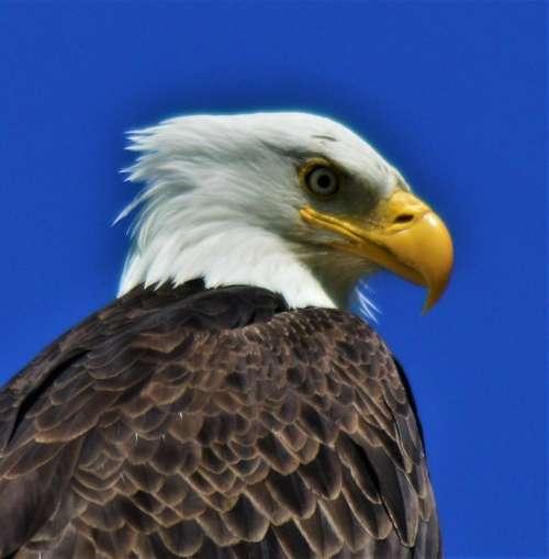 American Bald Eagle wild bird raptor