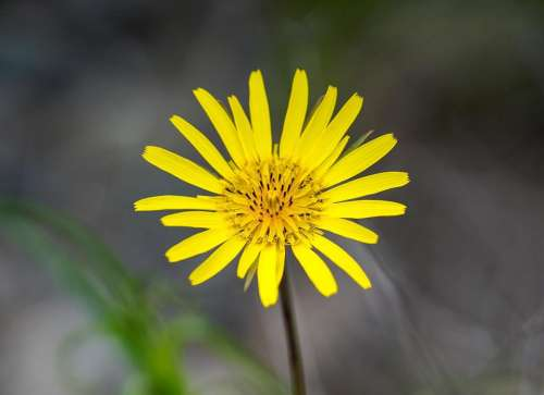 Flower yellow flower daisy