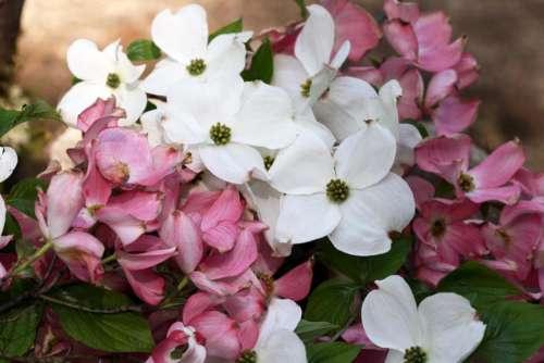 Pink  dogwood  spring  white  flower