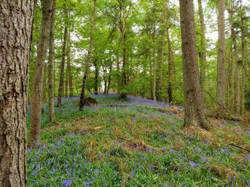 bluebells blue bells woods spring carpet