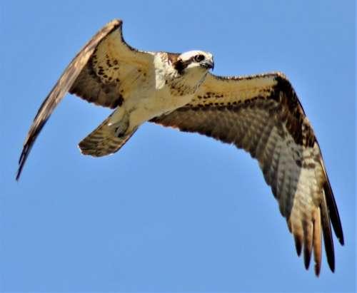 Osprey in flight wild bird raptor sea hawk