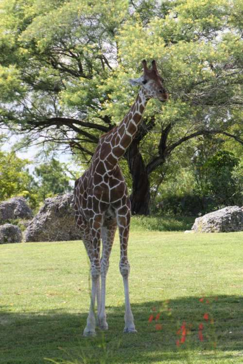 Giraffe Wildlife Animal Africa #animals