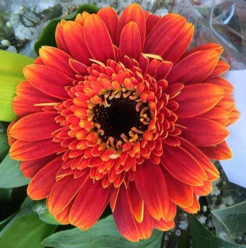 red orange daisy flower plant