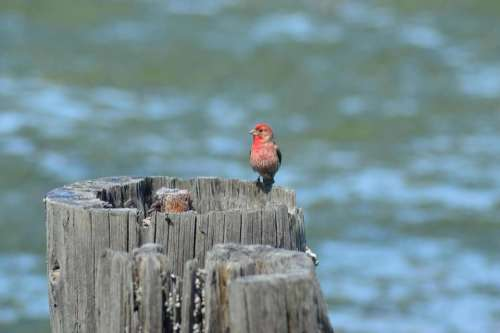 house finch bird red