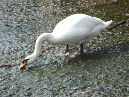 white swan waterfowl bird water
