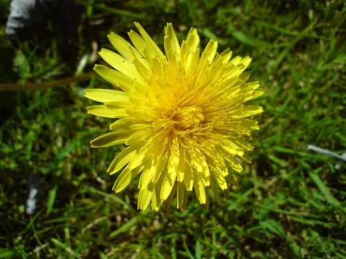 cat's ear dandelion flower yellow weed grass
