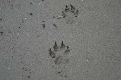 paw prints in the sand dog canine pet animal