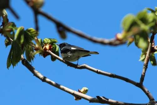 animal wildlife birds warbler blue