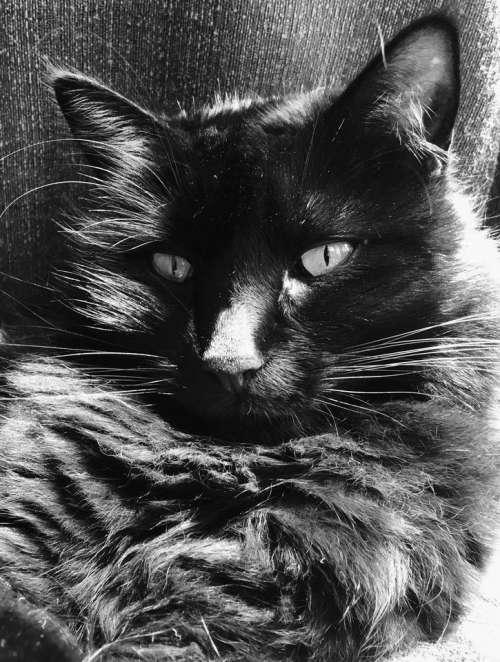 gato gato preto felino cat black cat