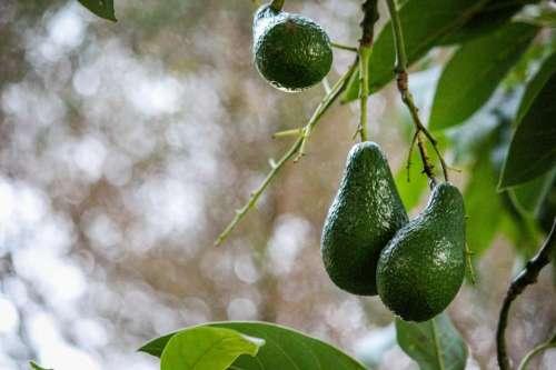 avocado avocadoes fruit trees nature