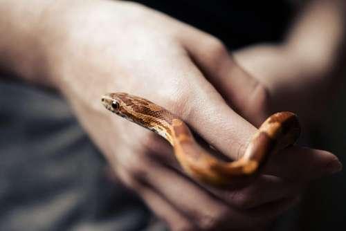 Corn Snake in Hands