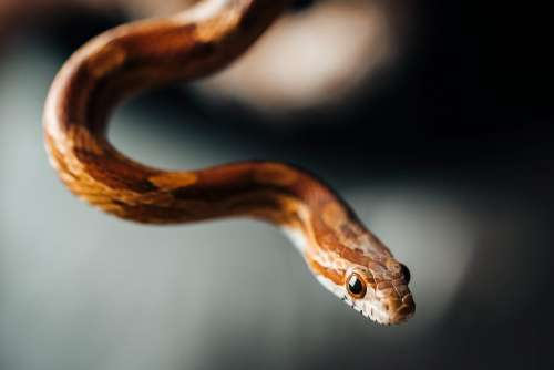 Little Corn Snake Portrait