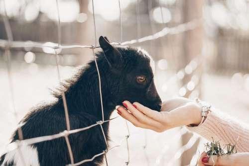 Woman Feeding a Baby Goat
