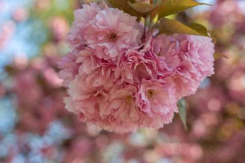 Almond Blossom Spring Flowers Close Up Blossom