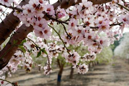 Almonds Flowers Trees Orchard Pink Blossom Nature