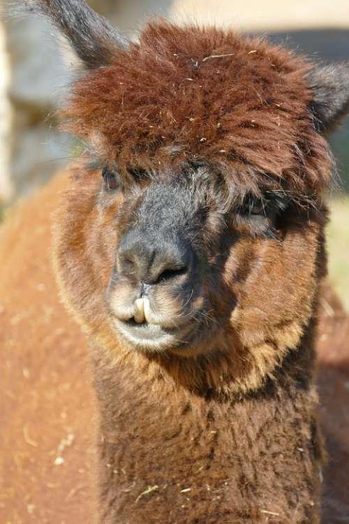 Alpaca Brown Head Mammal Animal Fur Fluffy
