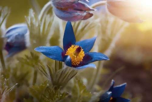 Anemone Blue Spring Garden Nature Flora