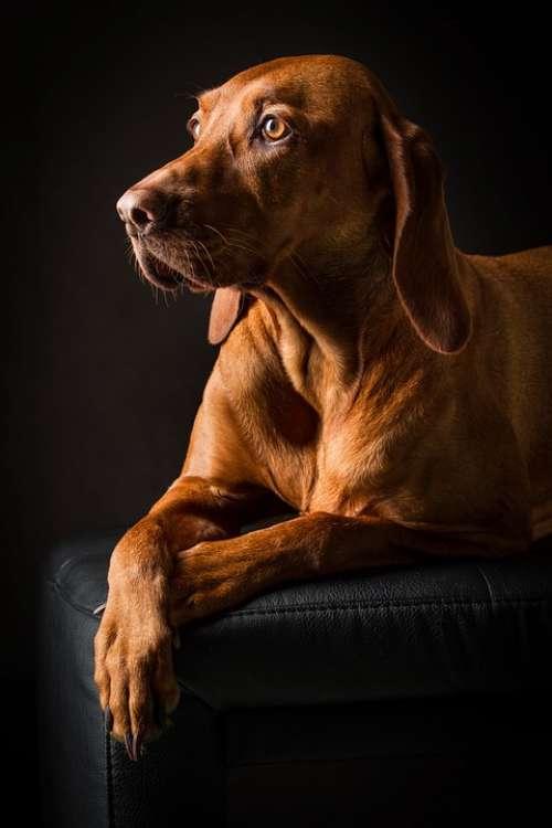 Animal Dog Pet Portrait Brown Cute Purebred Dog
