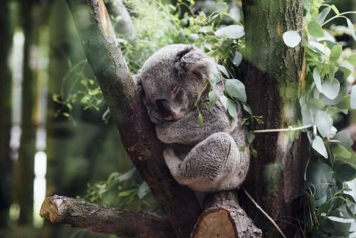 Animals Mammals Koala Furry Fluffy Adorable Cute