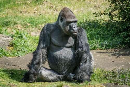 Ape Monkey Mammal Animal Primate Zoo Thinking