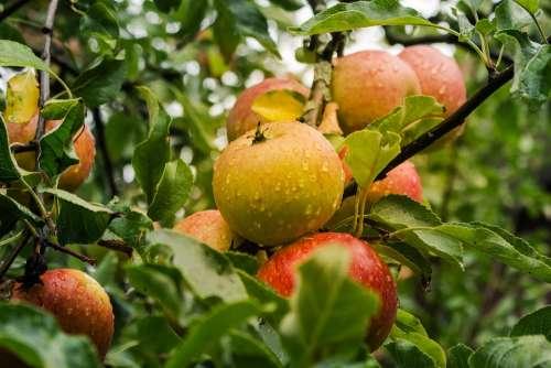 Apple Fruit Harvest Ripe Food Fresh Healthy