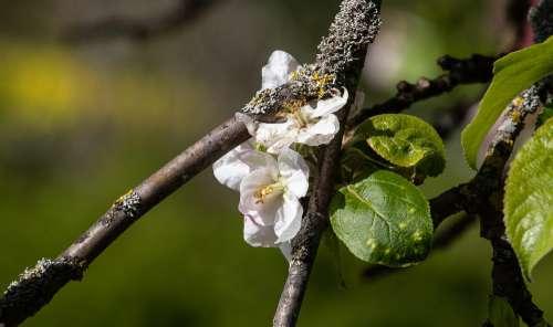 Apple Blossom Apple Tree Apple Tree Blossom White