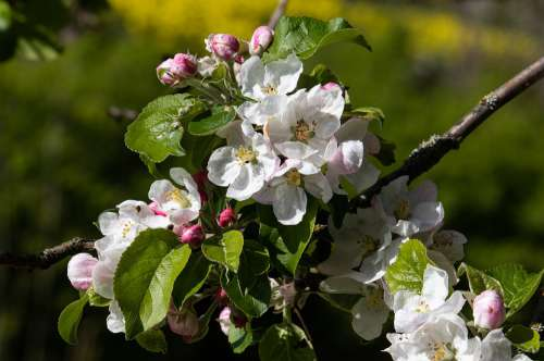Apple Blossom Apple Tree Apple Tree Blossom White