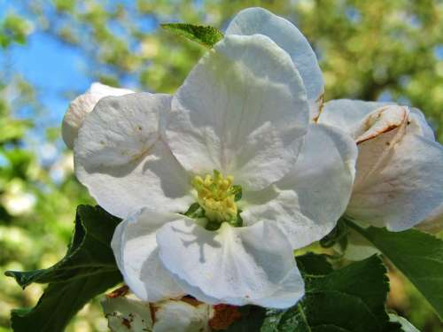 Apple Blossom White Apple Tree Spring Faded Garden