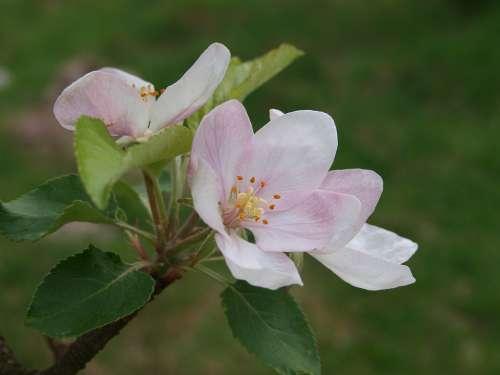 Apple Flower Flowering Nature
