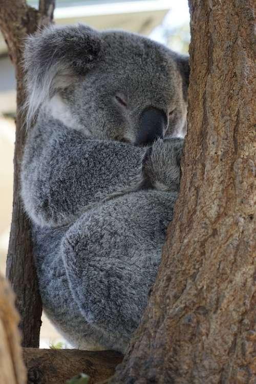 Australia Koala Zoo Adorable Sleep Marsupial