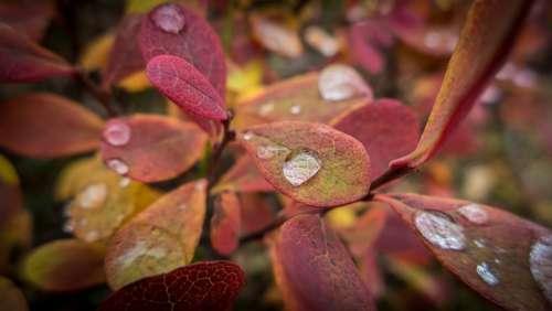 Autumn Blueberry Plant Nature Drop Macro
