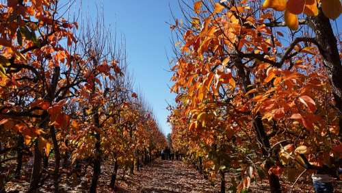 Autumn Fruit Trees Orchard