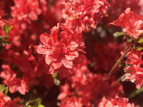 Azalea Royal Azalea Red Flowers Plants Flowers