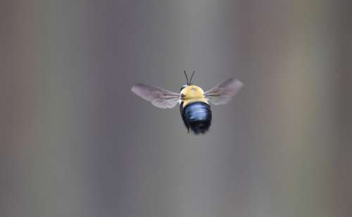 Bee Borer Bee Carpenter Bee Insect Nature Wings