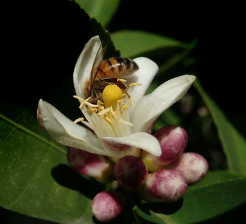 Bee Insect Pollen Lemon Blossom Garden Nature