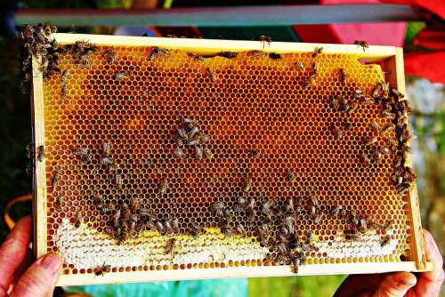 Bees Bee Honey Honey Insect Honeycomb Beehive