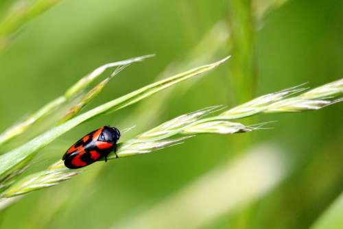 Beetle Grass Black Red Meadow Insect Small