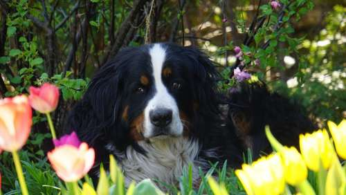Berner Sennen Dog Dog Bitch Portrait Tulips Pet
