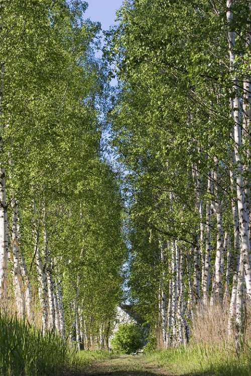 Birch Tree Landscape Forest Wood Nature Colors