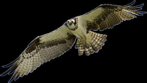 Bird Falcon Hawk Animal Sky Nature Falconry