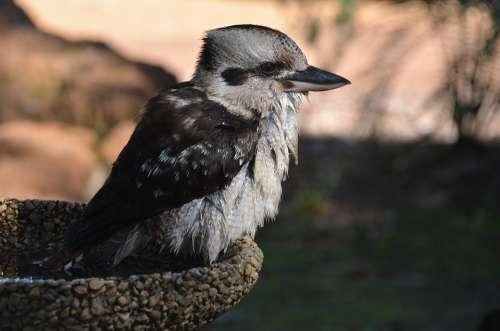 Bird Kookaburra Australia