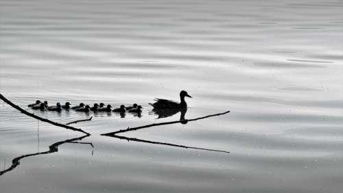 Birds Nature Ducks Animal Branch Lake Swim Water