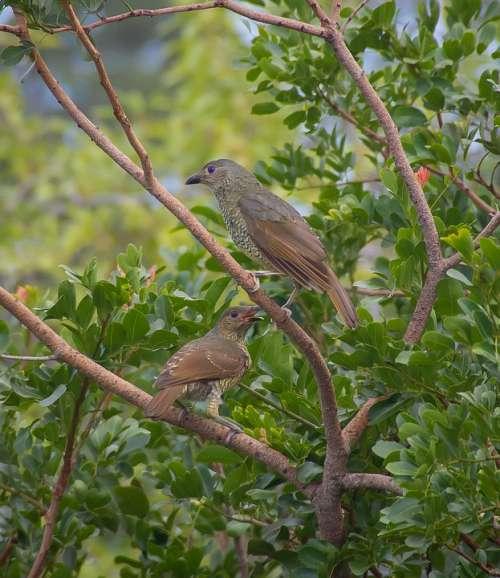 Birds Satin Bowerbirds Ptilonorhynchus Violaceus