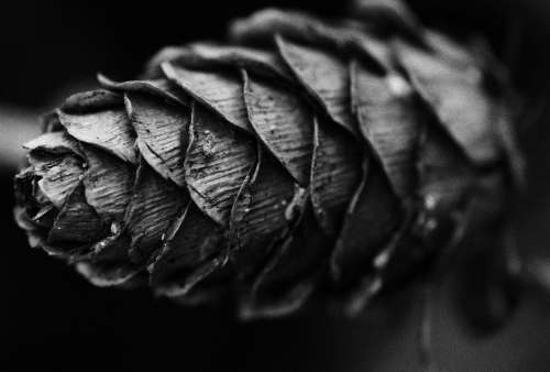 Black And White Pine Cone Nature White Black