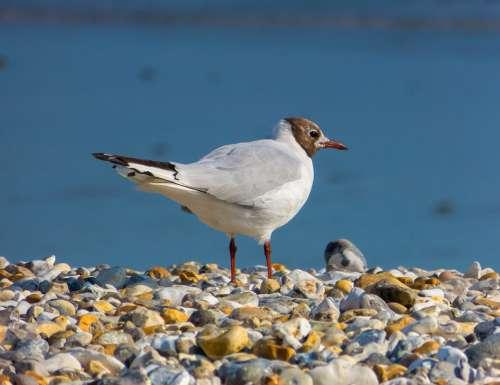Black-Headed Gull Bird Seabird Seagull Wildlife