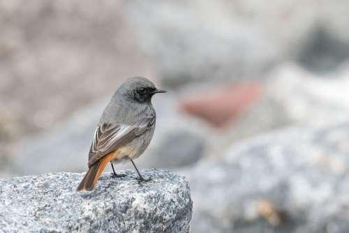 Black Redstart Phoenicurus Ochruros Migratory Bird