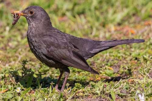 Blackbird Portrait Bird Plumage Close Up Garden