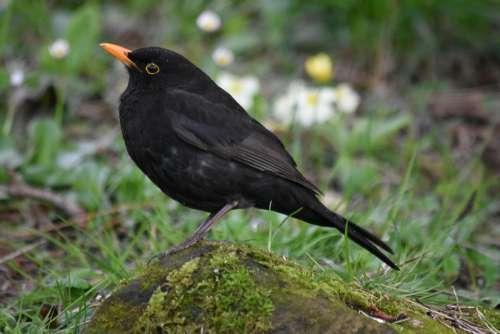 Blackbird Birds Black Spring