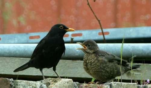 Blackbird Bird Nature Animal World Spring