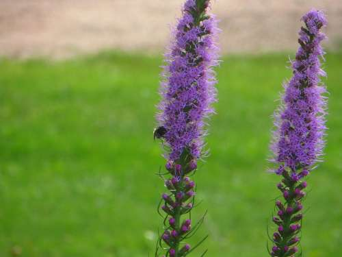 Blazing Star Purple Bloom Flower Nature Blossom